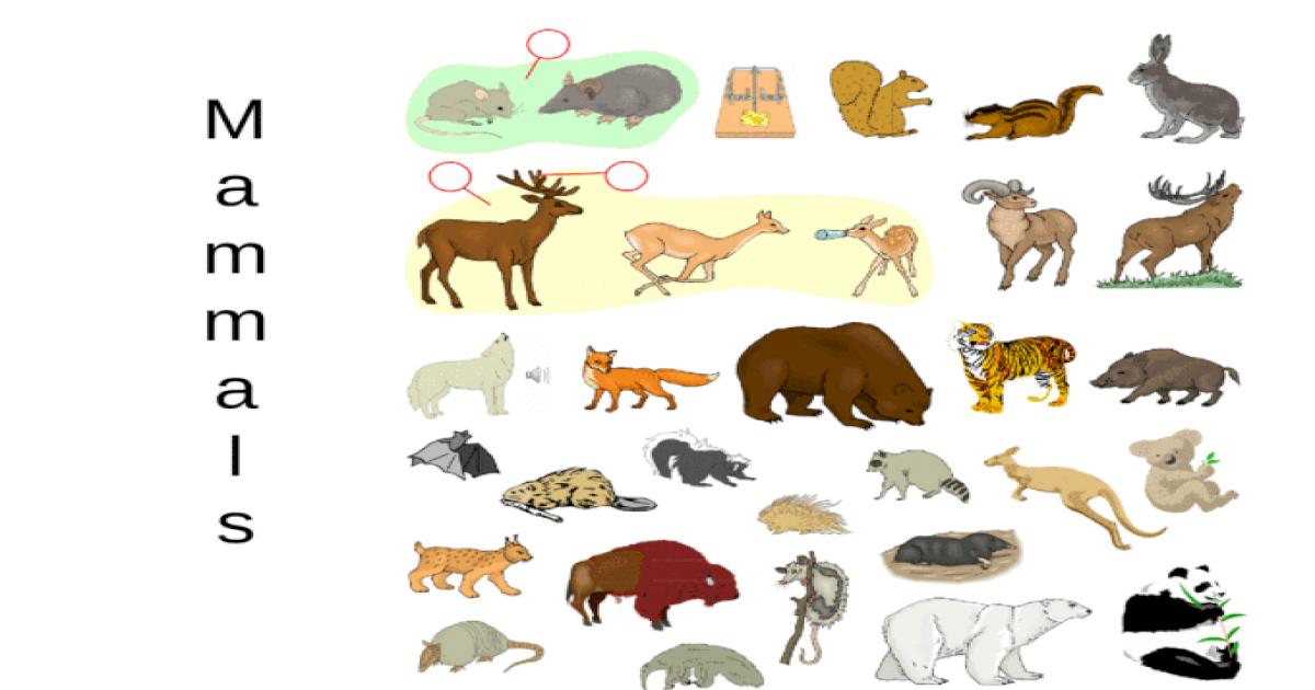 MammalsMammals. Classification Kingdom: Animalia Phylum ...